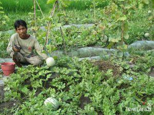 Kebun Melon Desa Canggu