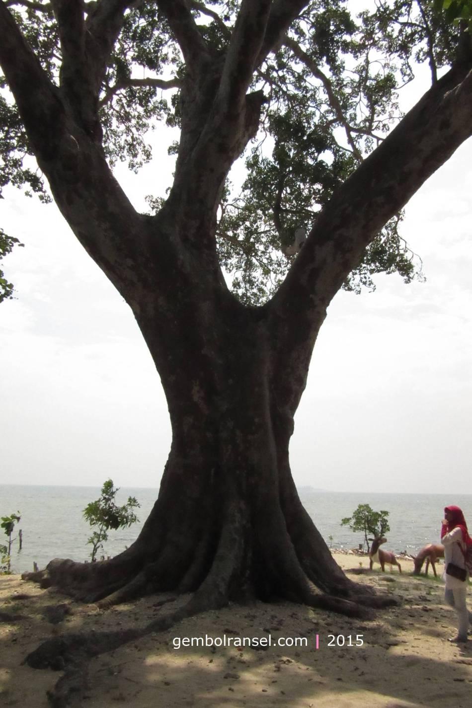 Pohon Kepuh bernama Pohon Jodoh