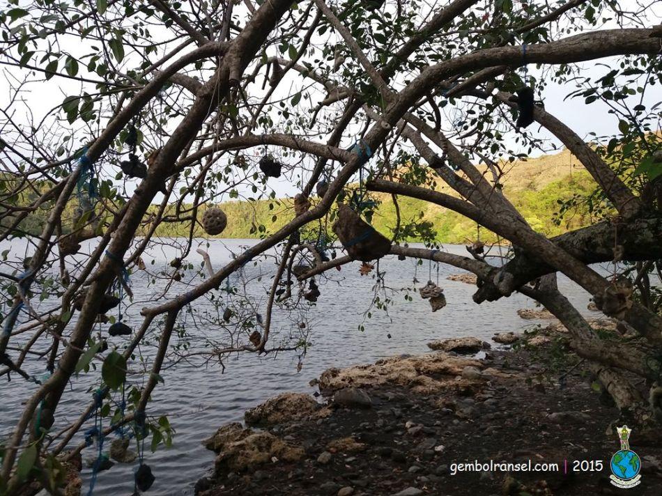 Pohon Kalibuda